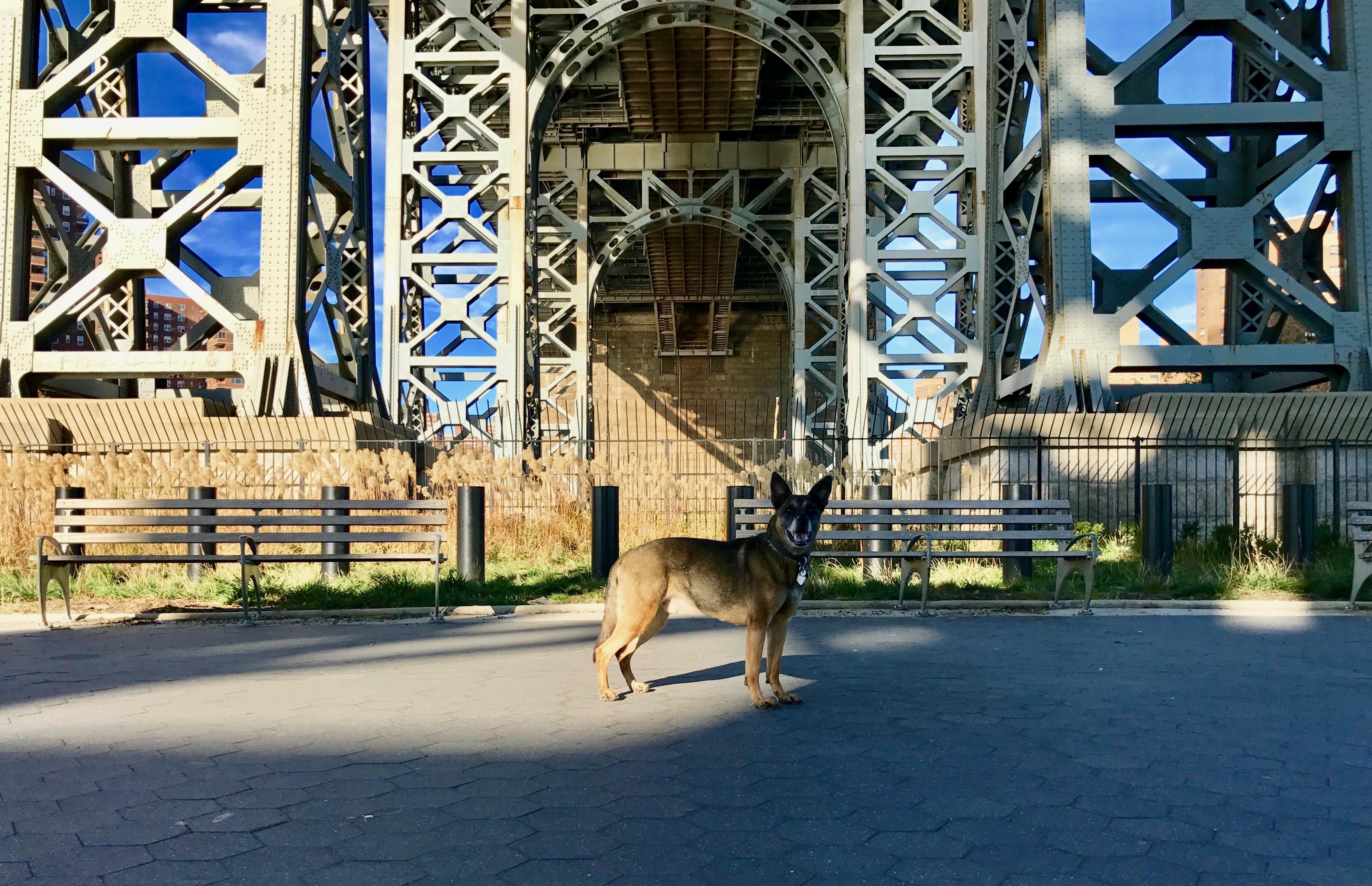 Sharav, Natan Gesher's Belgian Malinois, in front of the Williamsburg Bridge in Manhattan.